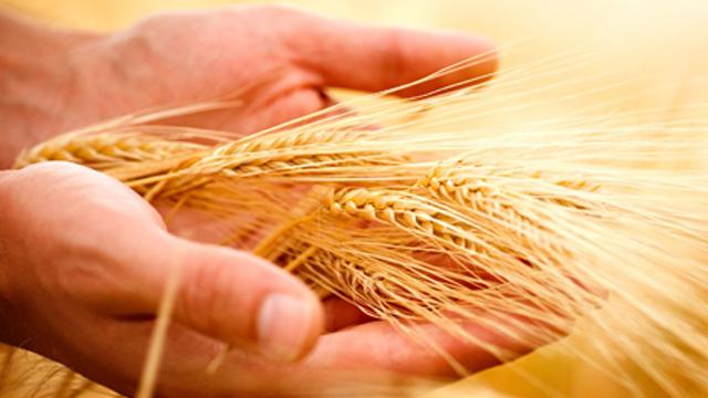Le blé pour les farines