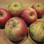 Clafoutis-aux-pommes-Les pommes