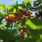 Tiramisu à la cerise Les cerises sur l'arbre