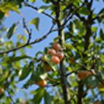 Clafoutis aux mirabelles Mirabelles sur l'arbre