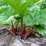 Tarte à la rhubarbe Rhubarbe
