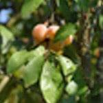 Glace à la mirabelle Les mirabelles dans l'arbre