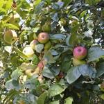 Compote de pommes ramassées en bocaux Le pommier