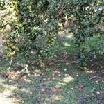 Compote de pommes ramassées en bocauxLes pommes sur le sol