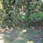 Compote de pommes ramassées en bocaux Bien trop de pommes sur le sol
