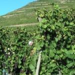 Domaine de Pierre Reinhart Les vignes