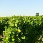 Les vignes en Charente Les vignes en Charente et le soleil