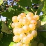 Les vignes en Charente Zoom, la grappe